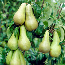 Pear Tree - Conference