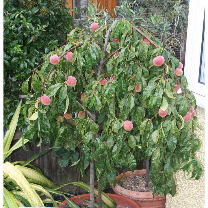 Peach Tree - Lacrima Weeping Peach