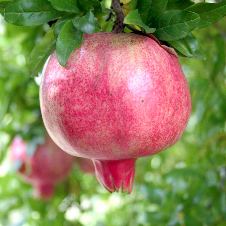 Pomegranate Plant - Provence