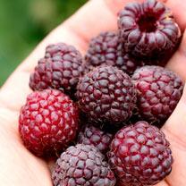 Primeberry Plant - Malling Passion