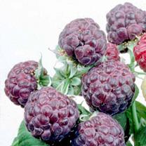 Raspberry Plant - Glen Coe