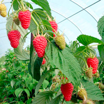Raspberry Plants - Autumn Treasure