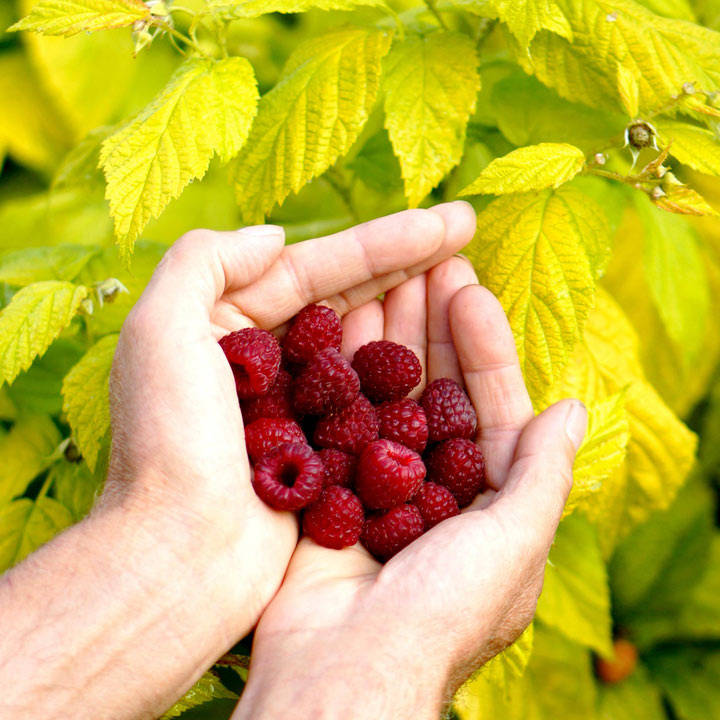 Raspberry Plants - Groovy