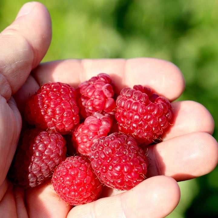 Raspberry Plant - Little Sweet Sister