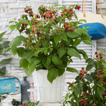 Raspberry Plant (Organic) - Lowberry Little Red Princess