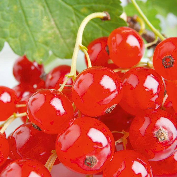 Redcurrant Plant - Rovada