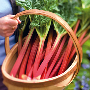 Begin harvesting rhubarb