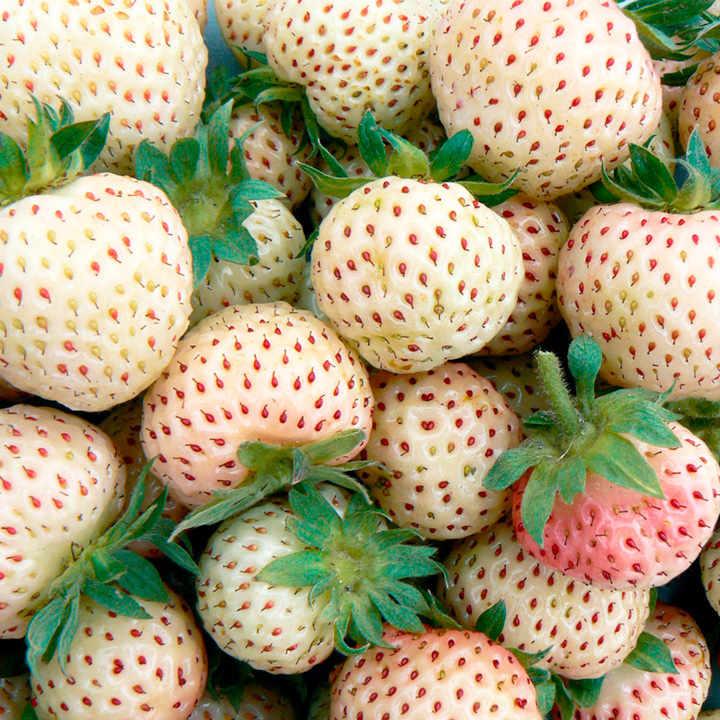 Strawberry Plants - Snow White