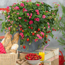Strawberry Plants - F1 Delizz