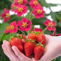 Strawberry Plants - Toscana