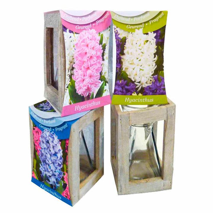 Hyacinth Lanterns