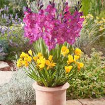 Plant-O-Mat Classic - Gladiolus/Freesia