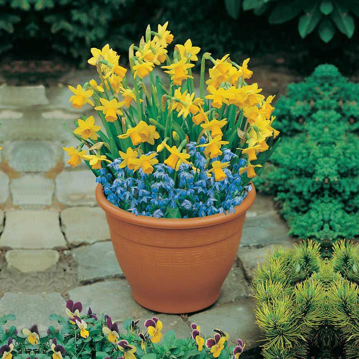 Plant-O-Tray Patio Pre-planted Bulbs - Narcissus and Scilla