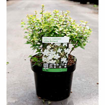 Image of Abelia zanderi Plant - 'Little Richard'