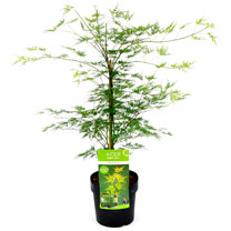 Acer palmatum Plant - Emerald Lace 40/50