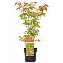 Acer palmatum Plant - Phoenix 40/50