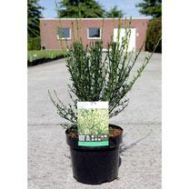 Cytisus Plant - Luna