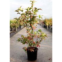Euonymus europaeus Plant - Red Cascade