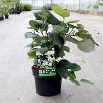 Fothergilla major Plant - Blue Shadow NOBLE