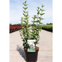 Philadelphus Plant - Dame Blanche