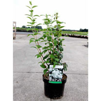 Philadelphus Plant - Snowbelle