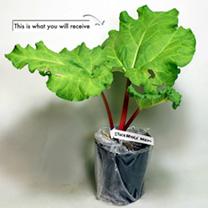 Rhubarb Plant - Stockbridge Arrow
