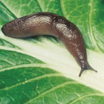 Nematode Slug Killer