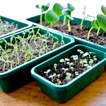 Seed Trays and Lids - Windowsill Size