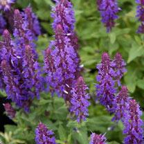 Salvia Plants - New Dimensions Mix