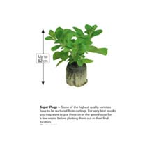 Squash Grafted Plants - Uchiki Kuri