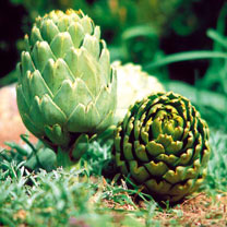 Artichoke Plant - Green Globe