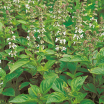Click to view product details and reviews for Herb Seeds Basil Lime Mrs Burns.