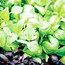 Basil Seeds - Mix