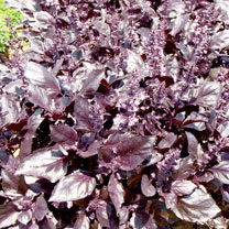Click to view product details and reviews for Herb Seeds Basil Round Midnight.