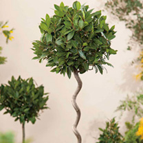 Bay Tree - Twisted Stem Large Standard 21cm 80cm
