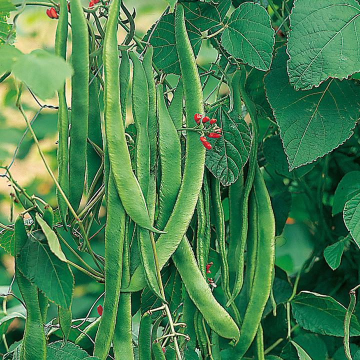 Bean (Runner) Seeds - Enorma