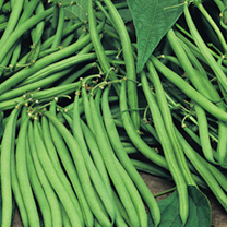 Bean (Dwarf French) Seeds - Safari
