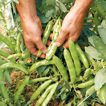 Bean (Broad) Plants - The Sutton