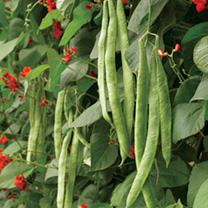 Click to view product details and reviews for Bean Runner Seeds Scarlet Emperor.