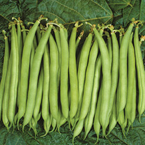 Bean Dwarf French (Organic) Seeds - Speedy