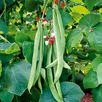 Bean (Runner) Seeds - St George