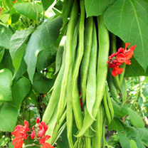 Bean (Runner) Seeds - Super Trio Mix