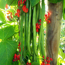 Runner Bean Plants - Super Trio Collection