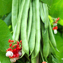 Bean (Runner) Plants - Tenderstar