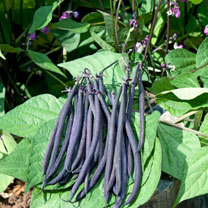 Bean (Dwarf French) Seeds - Mistik