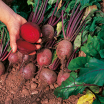 A popular round beet for table and exhibition. Crisp, dark crimson roots of excellent texture.