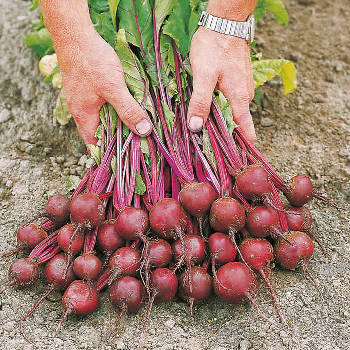 Beetroot Seeds - F1 Action