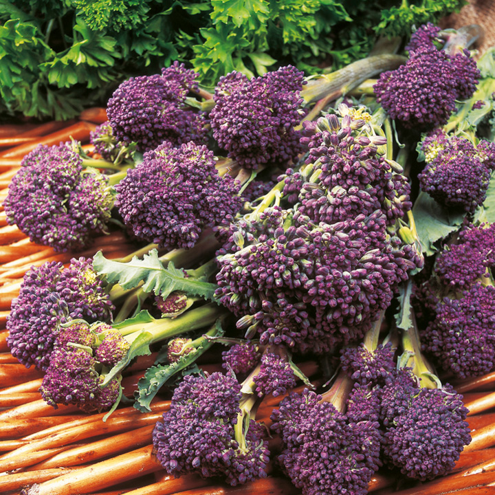 Broccoli (Sprouting) Seeds - F1 Claret