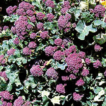 Broccoli Seeds - Purple Sprouting Continuity Mix