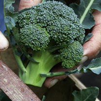 Broccoli Plants - Calabrese Continuity Collection